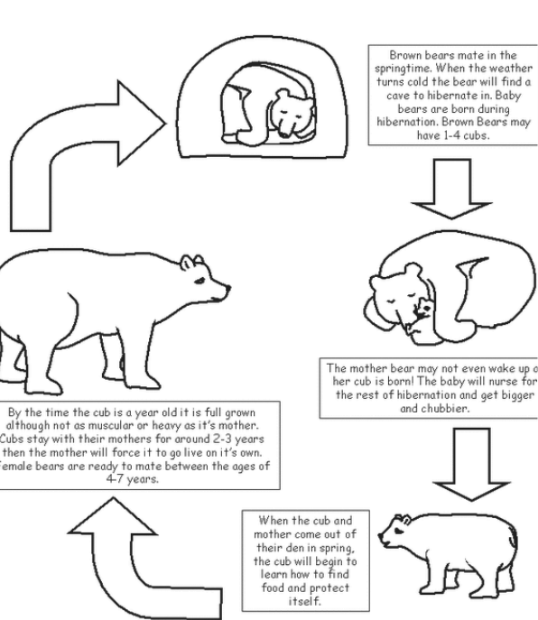 Brown Bear Life Cycle
